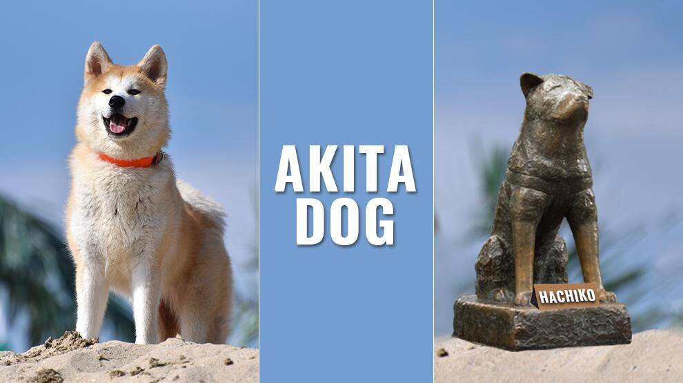 Akita Puppy Dog Breed Information And The Hachiko True Story Petmoo