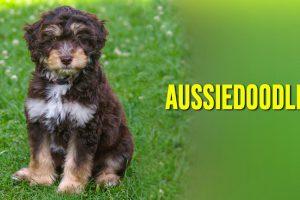 Aussiedoodle