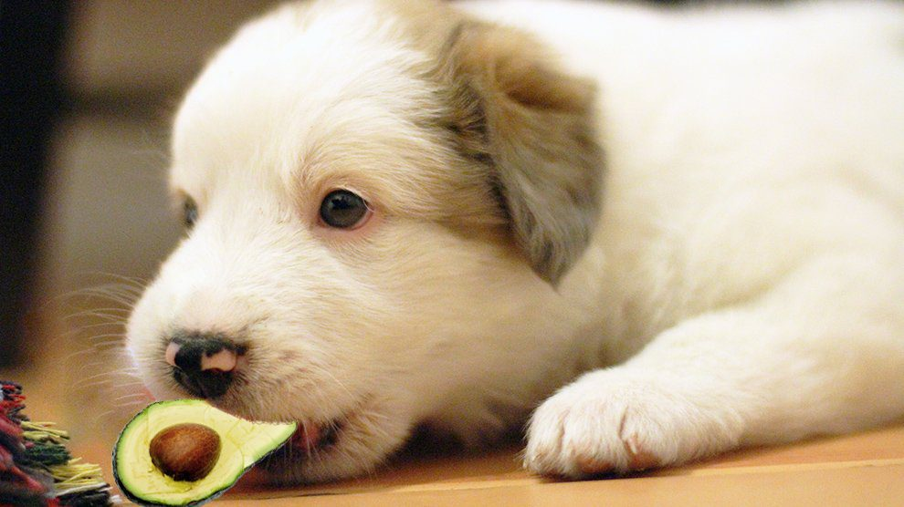 Can Dogs Eat Avocados? - Risks