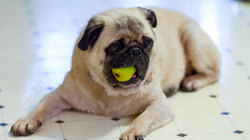 Can Dog Eat Pears?