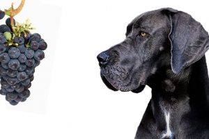 Can Dogs Eat Grapes Or Raisins