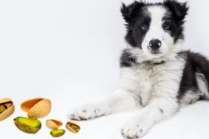 Can Dogs Eat Pistachios?