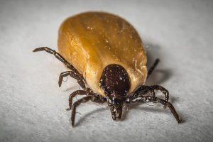 How To Kill Ticks?