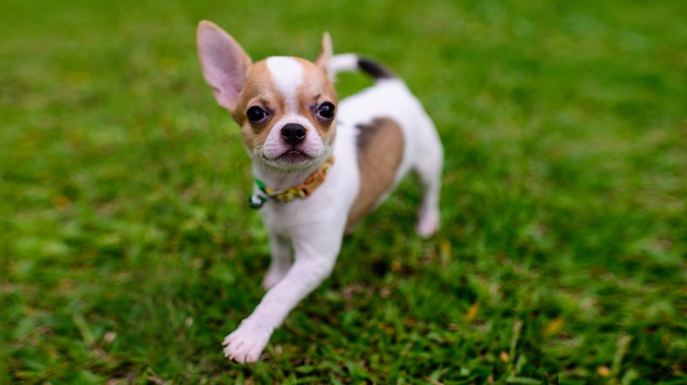 Teacup Chihuahua Facts On The