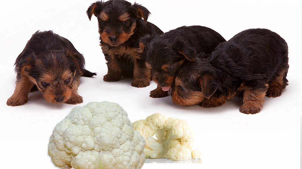 Can Dogs Eat Cauliflower?