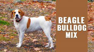 Beagle Bulldog Mix