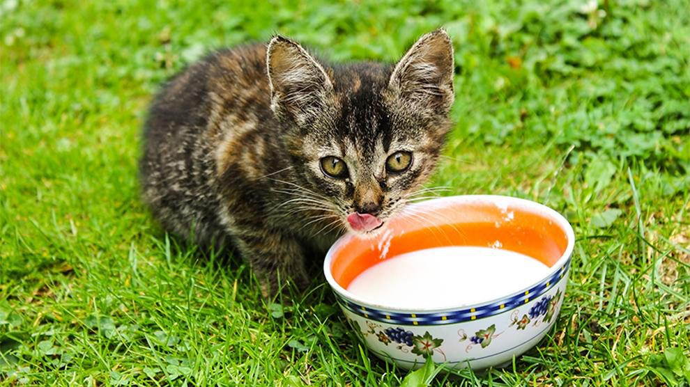 Can Cats Drink Milk