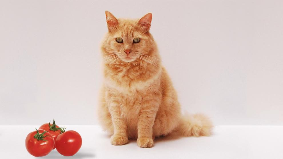 Can Cats Eat Tomatoes