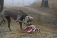 Can Dogs Eat Lamb?