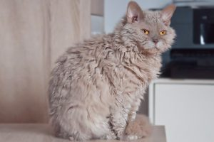 Cats With Curly Hair