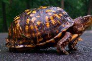 Box Turtles Care