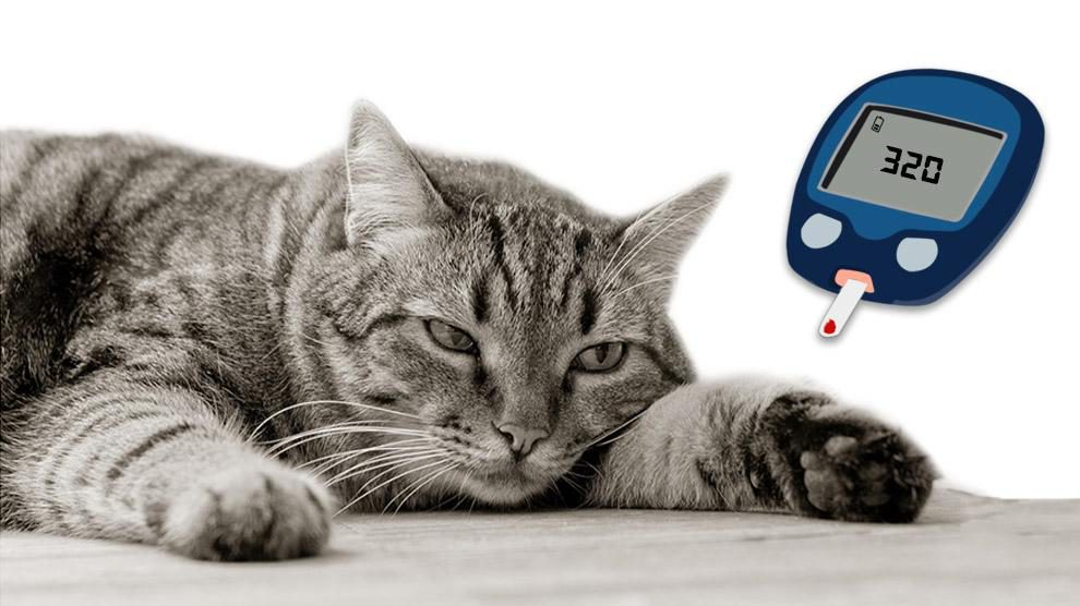 Hyperglycemia In Cats