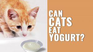Can Cats Eat Yogurt?