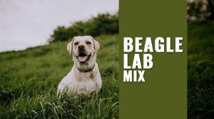 Beagle Lab Mix