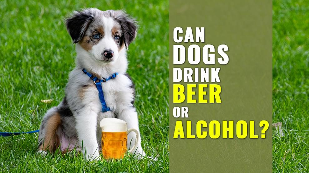 Can Dogs Drink Beer Or Alcohol?