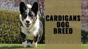 Cardigans Dog