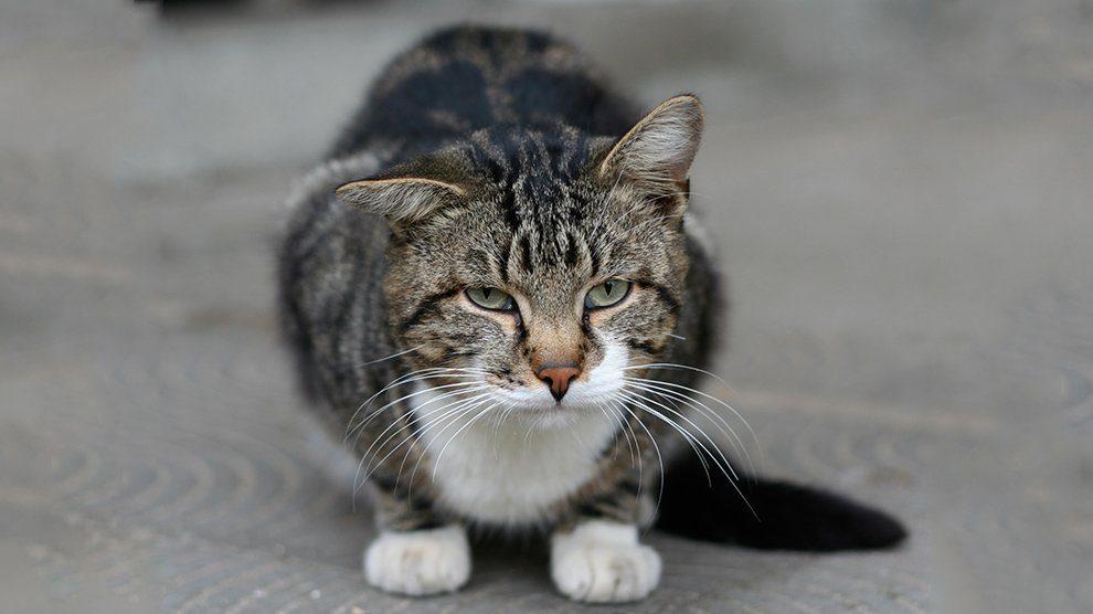 Cat with short legs