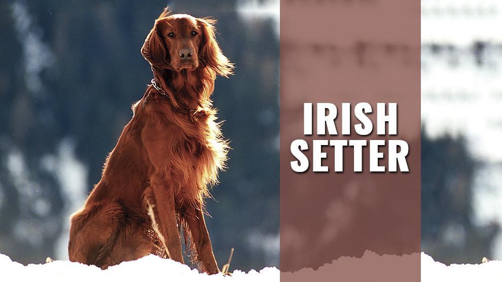 Irish Setter Dog Breed Information