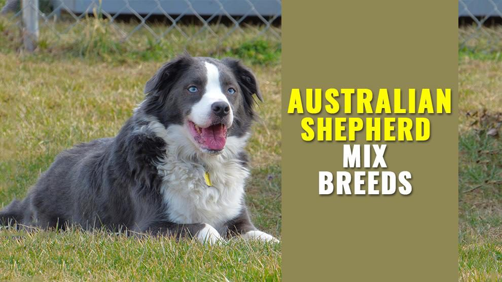 Australian Shepherd Mix