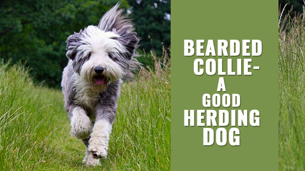 Bearded Collie