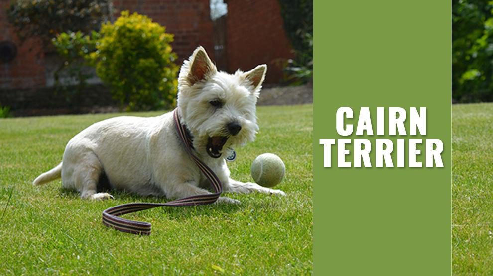 Cairn Terrier Dog Breed Information And Adoption Tips Petmoo