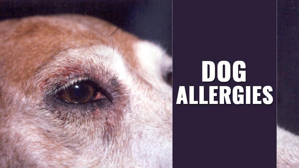 Dog Allergies