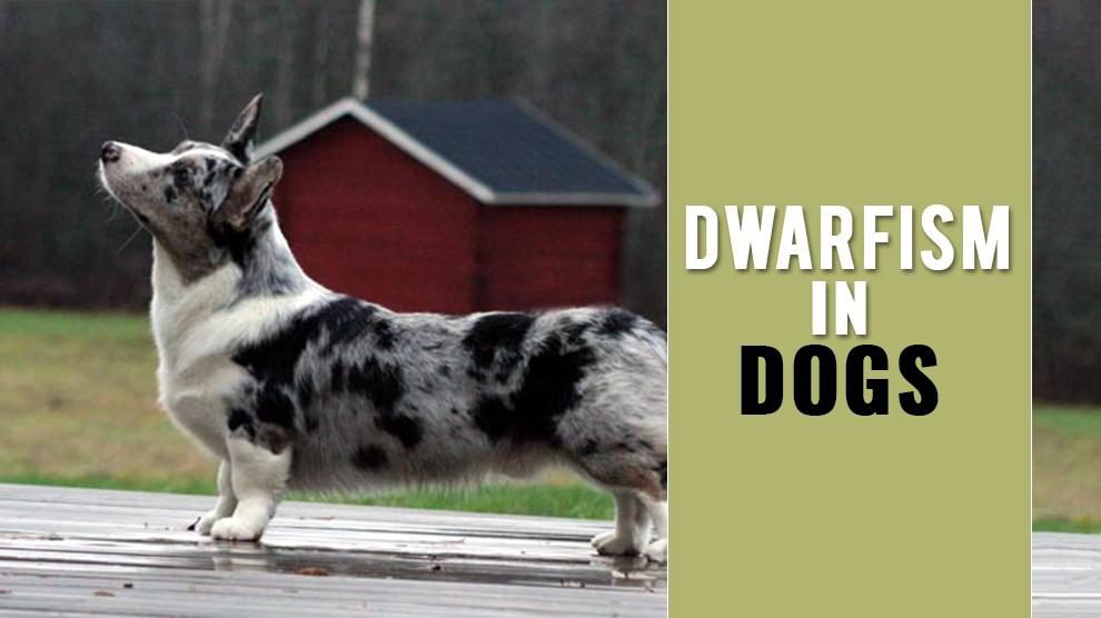 Dwarfism In Dogs