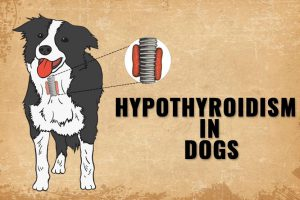 Hypothyroidism In Dogs