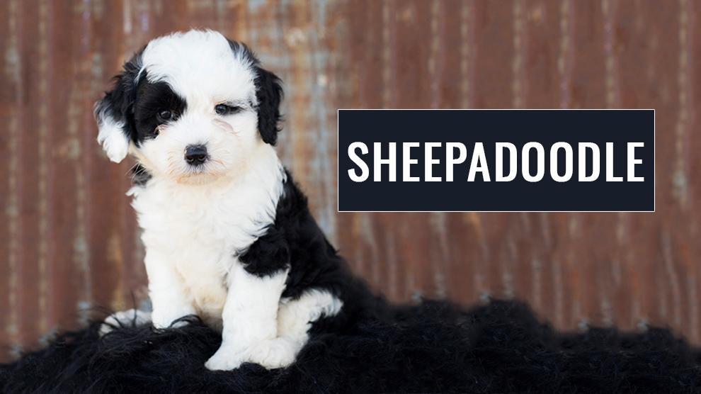 Sheepadoodle
