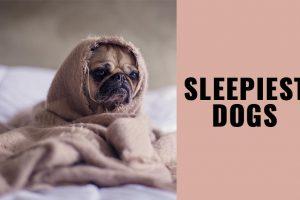 Sleepiest Dogs