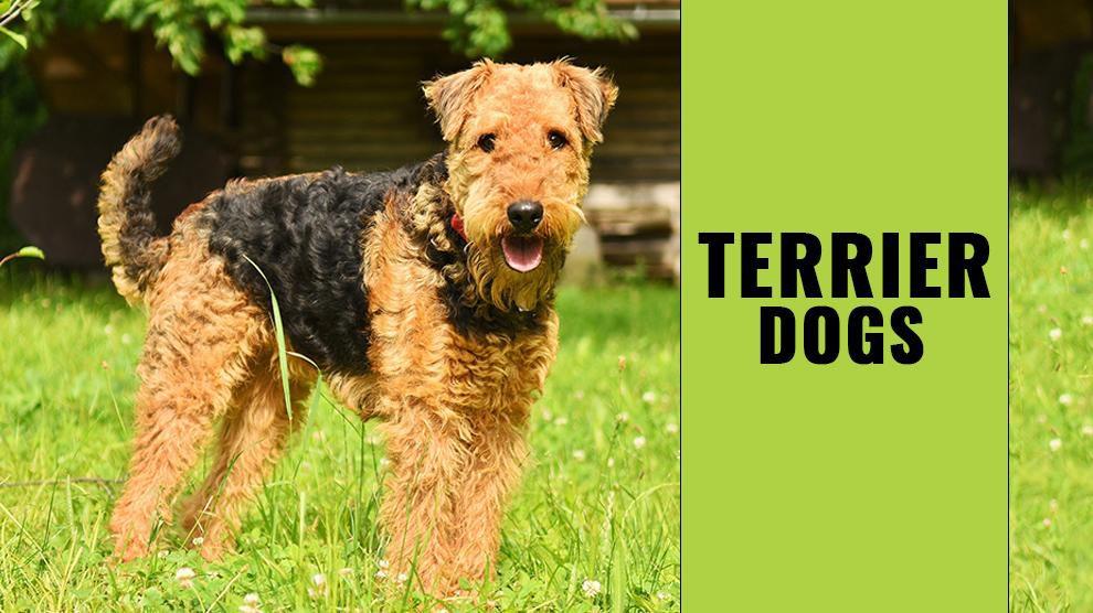 Terrier Dogs