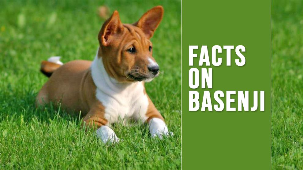 Basenji Unique Dog Breed Information