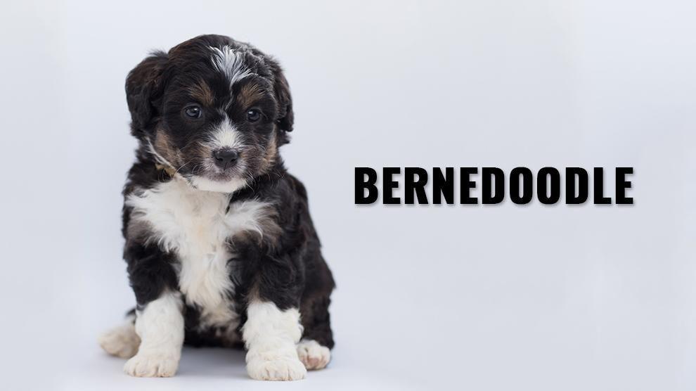 Bernedoodle