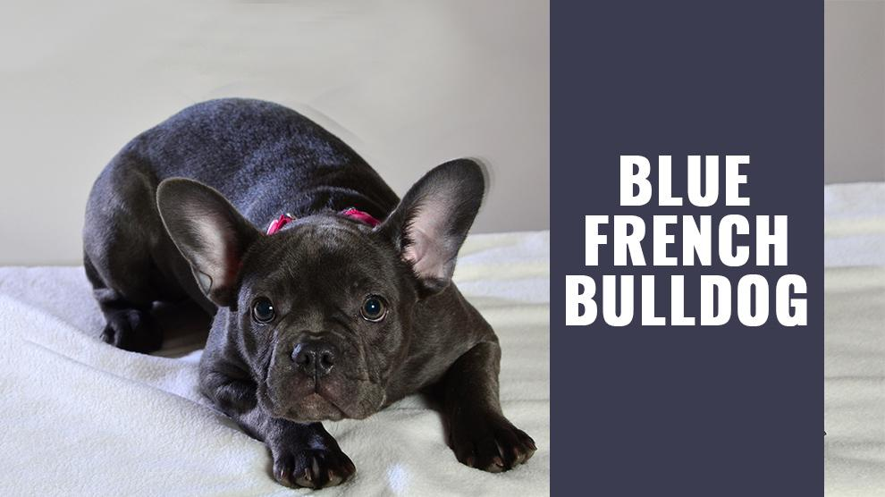 Blue French Bulldog - Must Know Facts About The Rare Breed - Petmoo