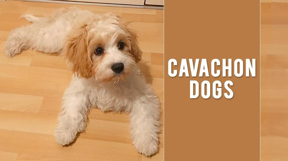 Cavachon