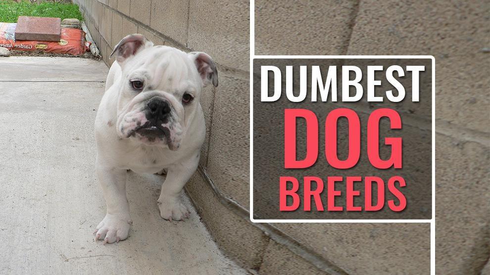 Dumbest Dog Breeds