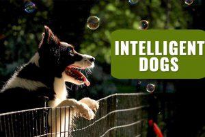 Intelligent Dogs