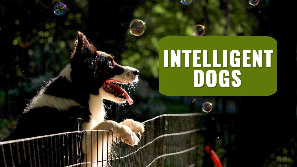 Intelligent Dogs