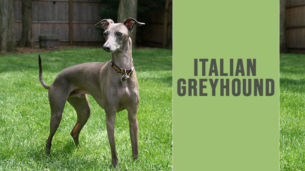 Italian Greyhound Complete Dog Breed