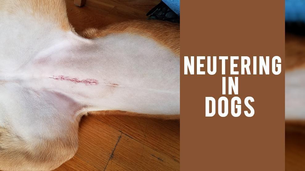 Neutering In Dogs