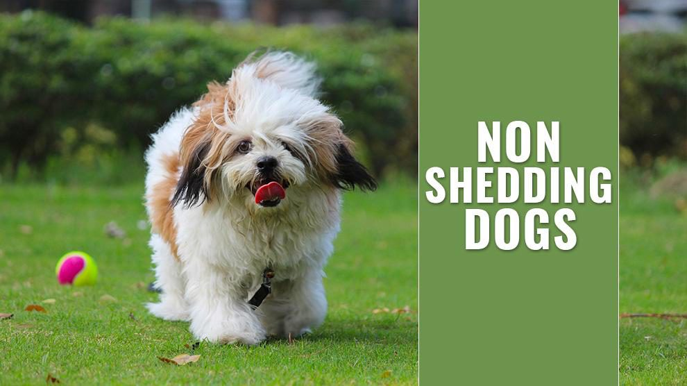 Non Shedding Dogs