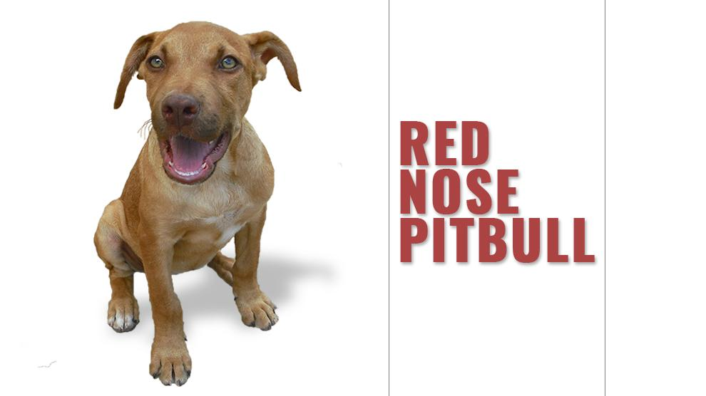 Red Nose Pitbull 12 Must Know Facts