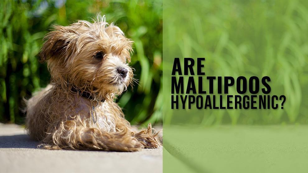 Are Maltipoo Hypoallergenic?