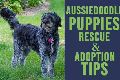 Aussiedoodle Puppy Rescue And Adoption