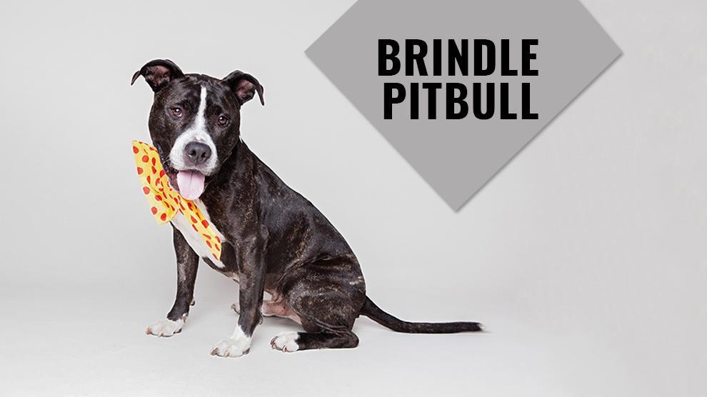 Brindle Pitbull