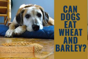 Can Dogs Eat Wheat