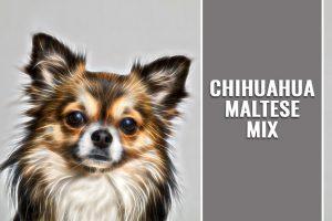 Chihuahua Maltese Mix