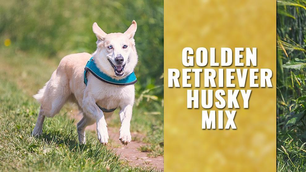 Golden Retriever Husky Mix