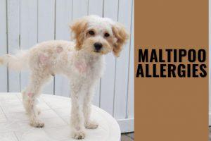 Maltipoo Allergies