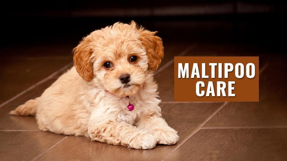 Maltipoo Care